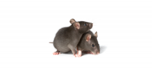 Mice-300x142 Mice
